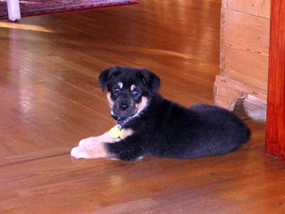 A small black-and-tan puppy lying on a hardwood floor