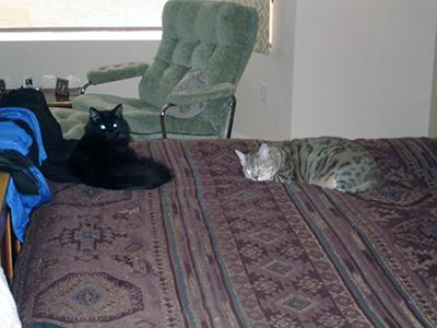 A fluffy black cat and a sleek gray spotted cat lie on a purple patterned bedspread