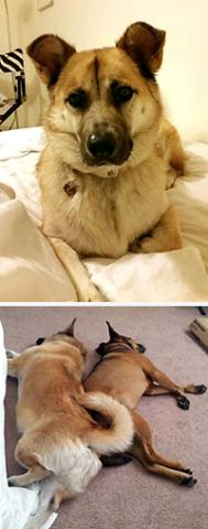 Collage of two photos: At top, a yellow dog resting on a bed; on bottom, two dogs curled together on a pink carpet