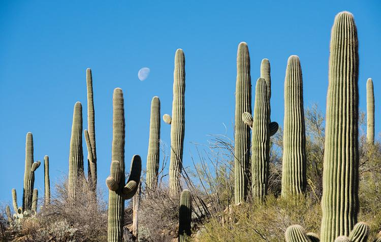 Cacti with blue sky and moon in background